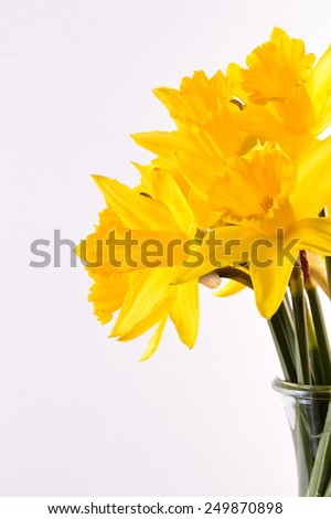 Bouquet of yellow daffodils. Isolated on background - stock photo