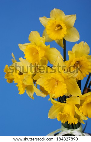 Bouquet of yellow daffodils isolated on blue background - stock photo