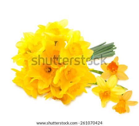 Bouquet of yellow daffodils. Isolated on white background - stock photo