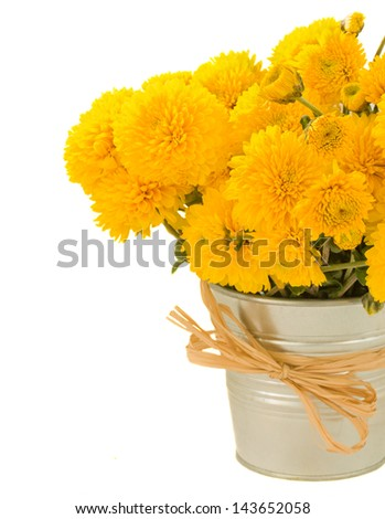 bouquet of yellow mums in pot close up isolated on white background - stock photo