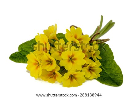 Bouquet of yellow primroses, isolated on white background - stock photo