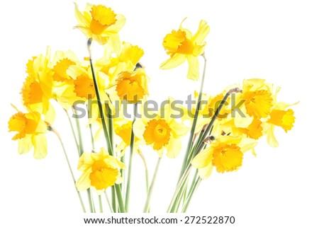 Bouquet of yellow spring daffodils isolated on white background, backlit. Selective focus