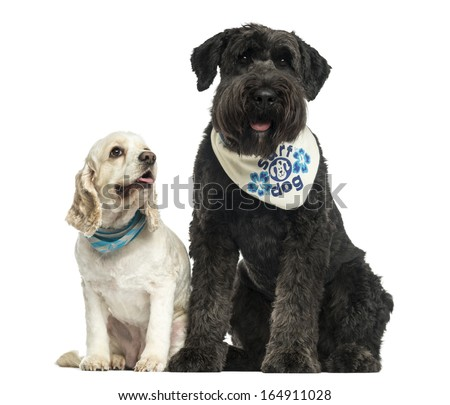 Bouvier des Flandres and American Cocker Spaniel sitting together, isolated on white - stock photo