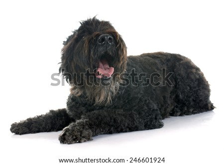 Bouvier des Flandres  in front of white background - stock photo