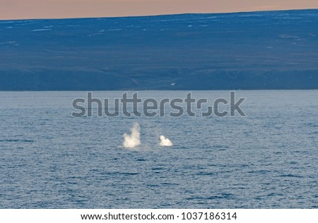 Bowhead Whale Spouts in the Arctic in Isabella Bay of the  Ninginganiq National Wildlife Area on Baffin Island in Nunavut, Canada
