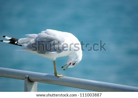 Bowing Seagull