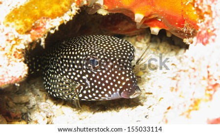 Box fish stock images royalty free images vectors shutterstock box fish sciox Image collections