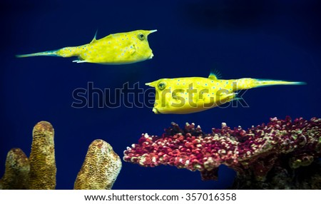 box-fishes - stock photo