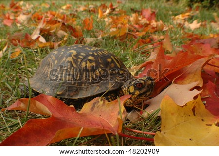 Box turtle in the wild