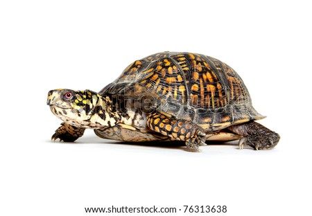 Box turtle walking on white background