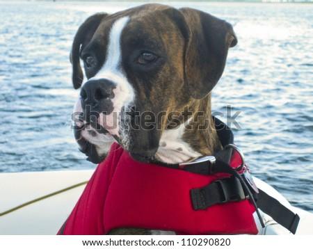 Boxer Boating - stock photo