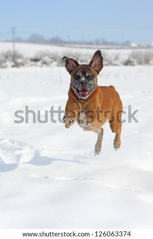 boxer breed running in big snow in a winter day