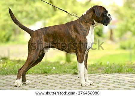 boxer dog - stock photo