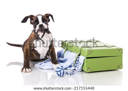 Boxer dog at studio - stock photo