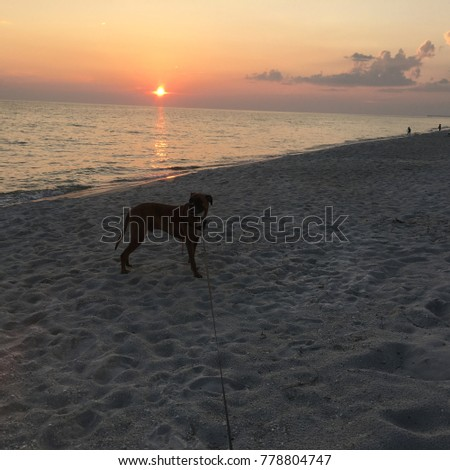 boxer dog enjoying dawn breaking on the water