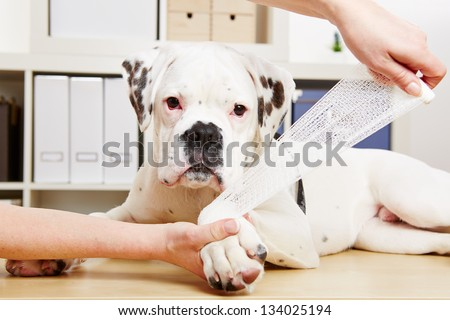 Boxer dog getting bandage after injury on his leg by a veterinarian - stock photo