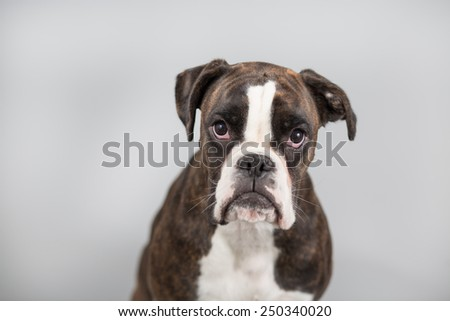 Boxer dog in a studio