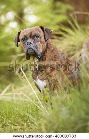 Boxer dog in the forest