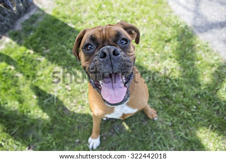 Boxer dog looking into the camera with tongue out - stock photo
