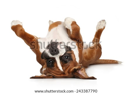 Boxer dog lying on his back resting his paws up - stock photo