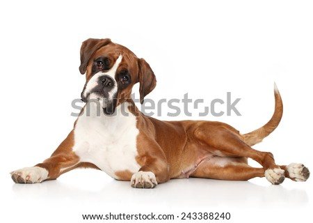 Boxer dog lying on white background - stock photo