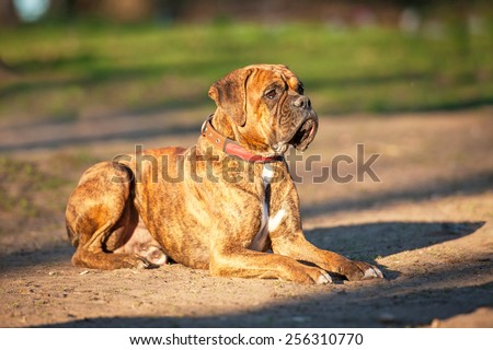Boxer dog on obedience training - stock photo