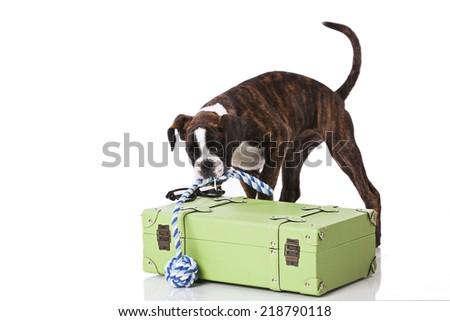 Boxer dog packing his luggage - stock photo