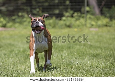 Boxer dog playing outside
