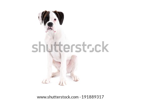 Boxer dog puppy on a white background