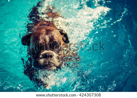 Boxer dog swimming - stock photo