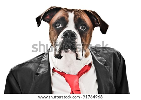 Boxer Dog wearing a coat, shirt and red tie - stock photo
