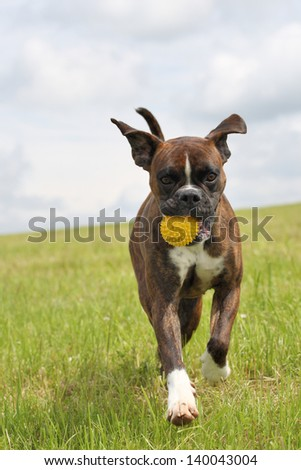 boxer dog with a yellow ball - stock photo