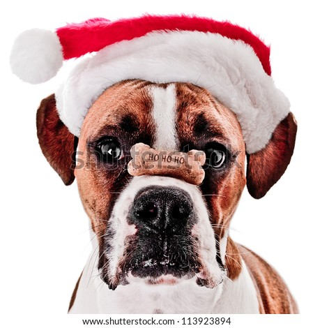 Boxer Dog with HO HO HO Bone on it's Nose Wearing Santa Hat - stock photo