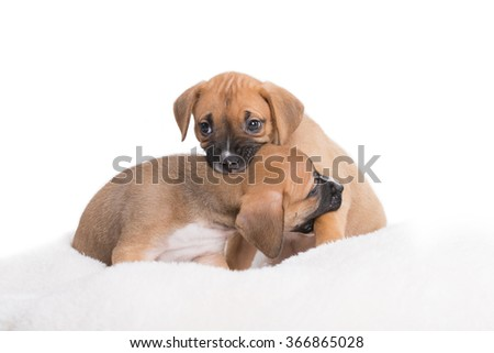 Boxer Labrador Retriever Playful Puppies Dogs on White Background - stock photo