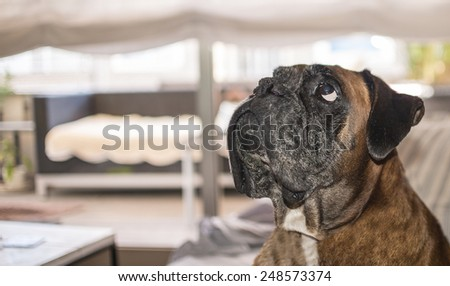 Boxer looking on home - stock photo