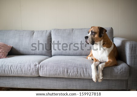 Boxer Mix Dog Laying on Gray Sofa at Home Looking in Window - stock photo