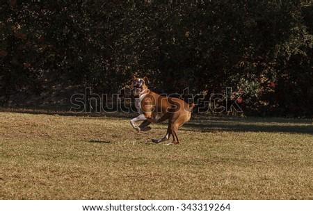 Boxer mix dog playing at a dog park - stock photo