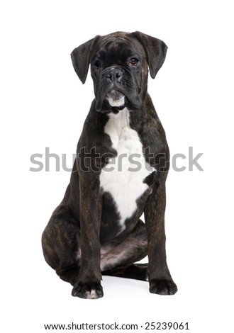 Boxer (5 months) in front of a white background