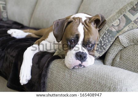 Boxer puppy on couch