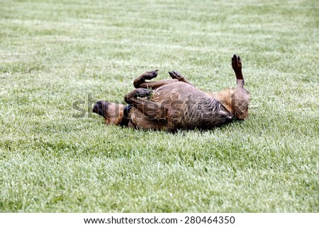 Boxer Shepherd mixed breed dog rolling in grass. - stock photo