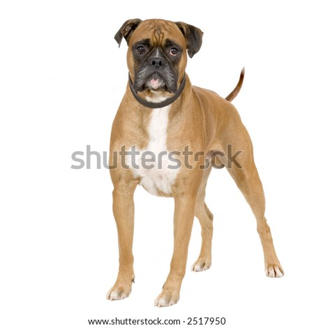 Boxer standing in front of white background - stock photo