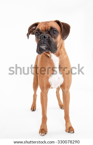 Boxer standing on white background