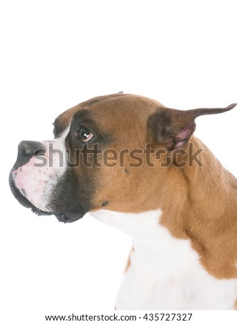boxer with sad or sorrowful expression on white background