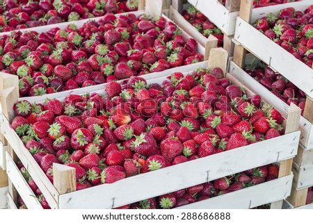 Boxes of strawberries in farmer market. Crates full of fragaria. Selective focus and shallow dof. - stock photo