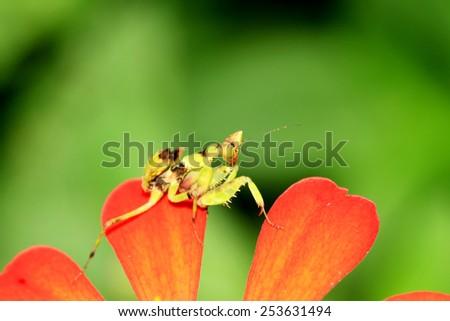 Boxing grasshopper on zinnia flower - stock photo