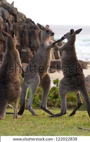 Boxing Kangaroos - stock photo