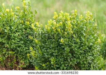 boxwood Bush - stock photo