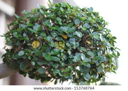 Boxwood plant. - stock photo