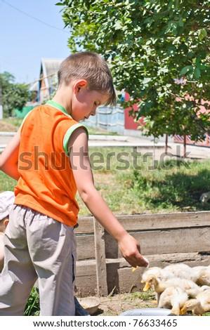 Boy feeds millet funky chicken - stock photo