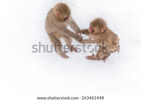 Boys of the Japanese monkey which is idle in a snowball - stock photo